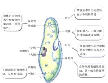 草履虫氧的摄入,二氧化碳的排出主要通过( ) A.表膜 B.伸缩泡 C.胞肛 D.收集管