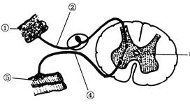 神经系统调节人体生命活动的基本方式为反射,反射的结构基础是反射弧。如图是反射弧的结构示意图,有关叙述错误的是( ) A. ⑤结构为效应器,由传出神经末梢构成 B. 构成②结构的细胞具有接受刺激、产生并传导兴奋的功能 C. 人在睡着时,一旦有蚊子叮咬也会拍打,这