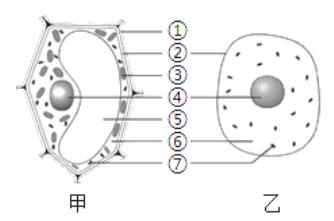 """下图是动、植物细胞结构模式图,据图回答: (1)表示动物细胞的是图_____(填""""甲""""或""""乙"""")。 (2)西瓜之所以甘甜可口,主要是因为[]_____含有较多的糖分。 (3)结构②具有保护和_____的功能。 (4)甲细胞和乙细胞都有的能量转换器是[]____"""