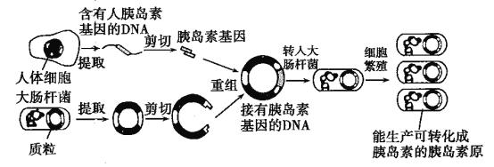 培育转基因细菌的过程如图所示,该技术能利用细菌短时间内合成大量的胰岛素,大大降低了生产胰岛素的成本.请回答下列问题: (1)人体细胞和大肠杆菌在结构上的主要区别是_____;这两种细胞内的DNA含有的基因不同,但DNA的基本单位都是_____. (2)培育转基