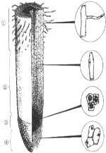下图为根尖结构模式图,据图回答问题: (1)在根尖结构中,④______;具有_____作用。 (2)细胞始终保持分裂能力的部位是[_____]______;该区细胞排列紧密,细胞核_____,细胞质浓。 (3)根细胞不断伸长的部位是[_____]______