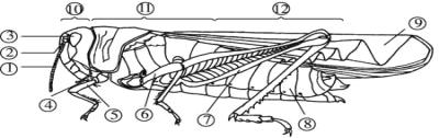 如图为蝗虫的形态结构图,请据图回答。 (1)蝗虫的飞行器官是[ ]__________。它有__________对足,跳跃时主要靠[ ]__________。运动器官都着生在__________部。 (2)用手触摸蝗虫的身体,会摸到蝗虫体表有一层坚硬的____