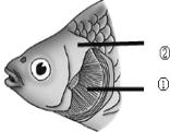 请仔细观察鱼的头部结构,回答以下问题。 (1)鱼适于在水中生活的两个特点分别是:靠__________来获取食物和防御敌害、能在水中__________。 (2)鱼的身体分为__________、__________、__________三部分,通常左右侧扁。